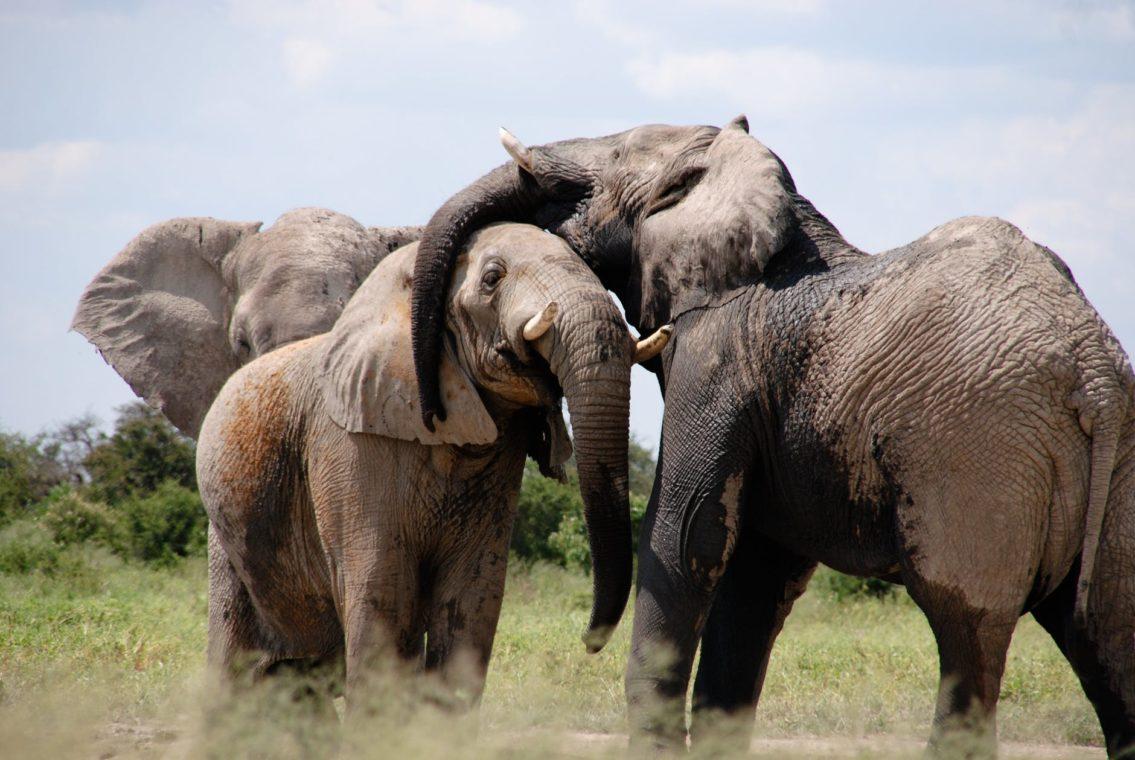 Elephants reunited