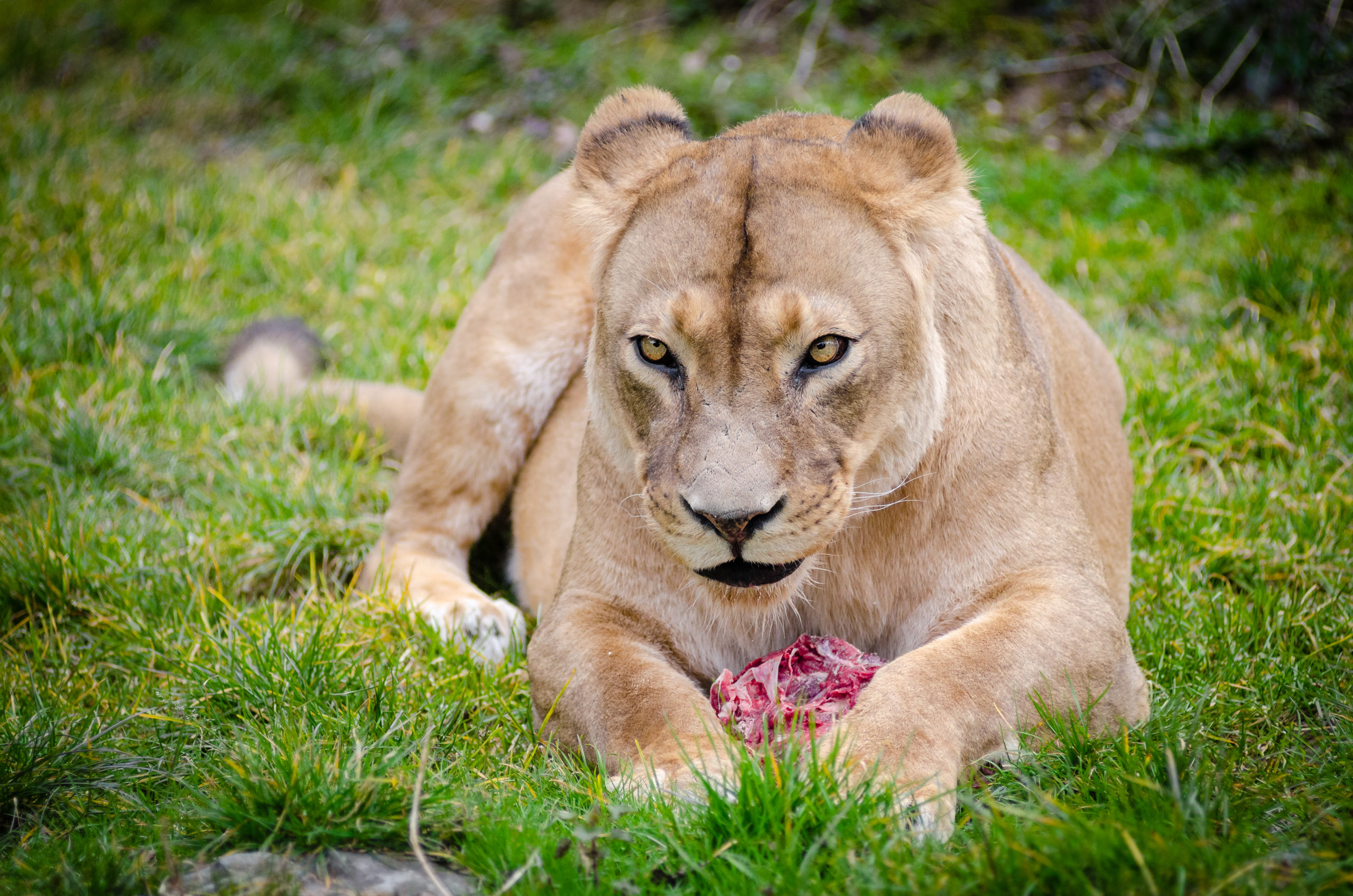 lioness with meat