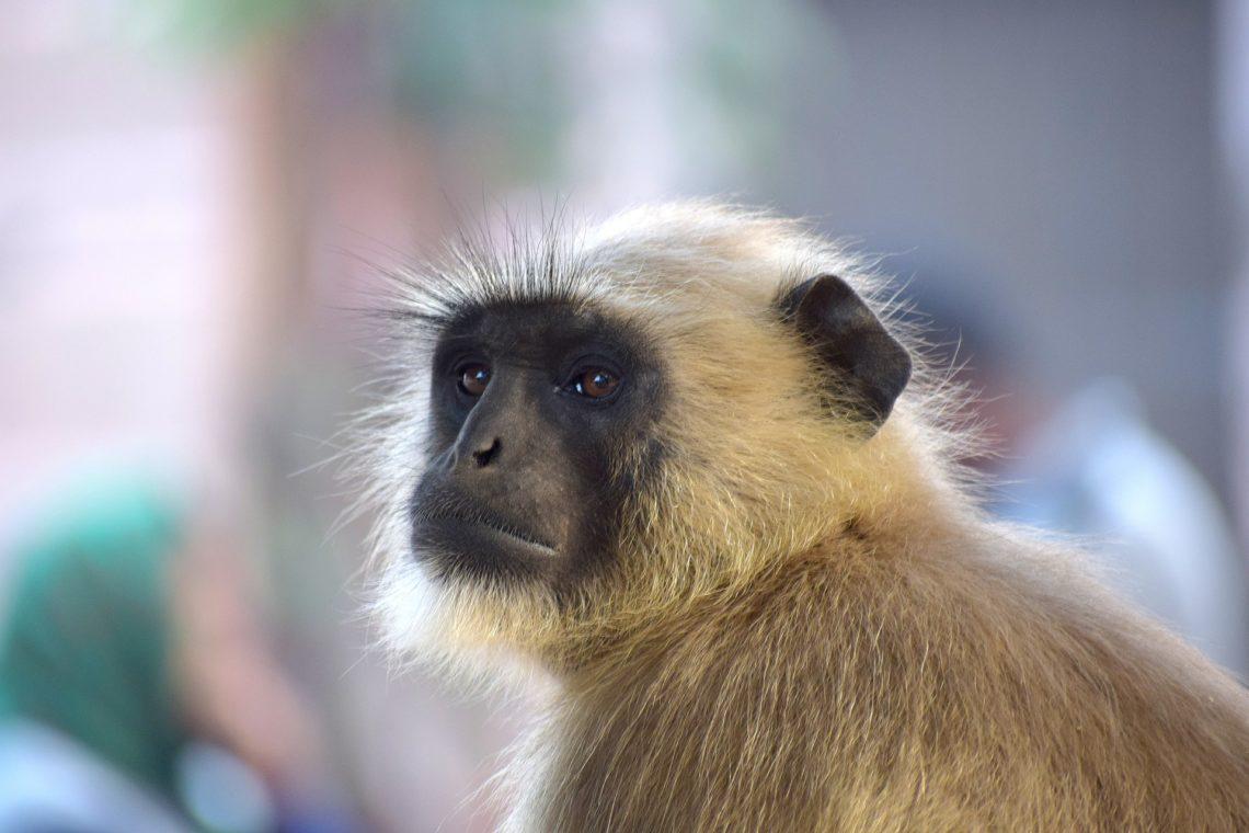 gibbon rescue