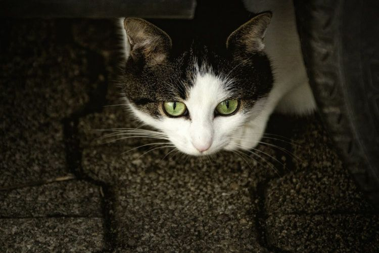 Cat Whisperer Val Heart