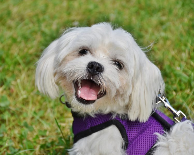 dog breeds best for apartment