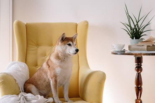 dog in chair