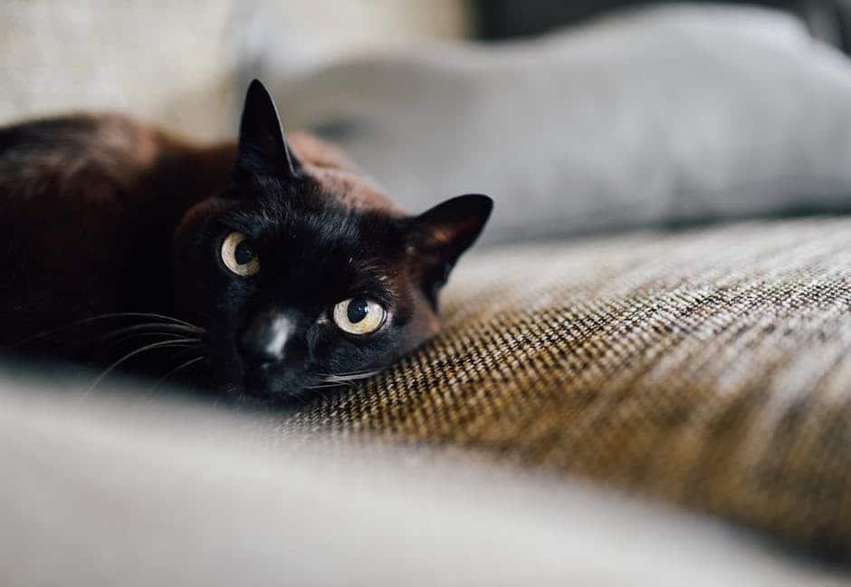 common-cat-diseases