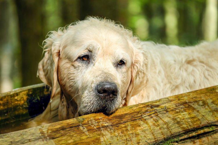 senior dog 2