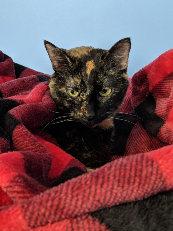 older cat in blanket