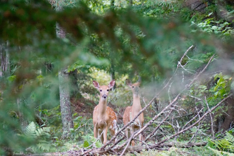 Talking With Animals: Fawns