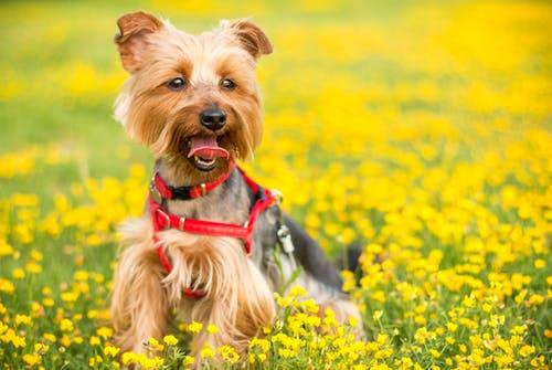 friendliest dog breeds Yorkshire terrier