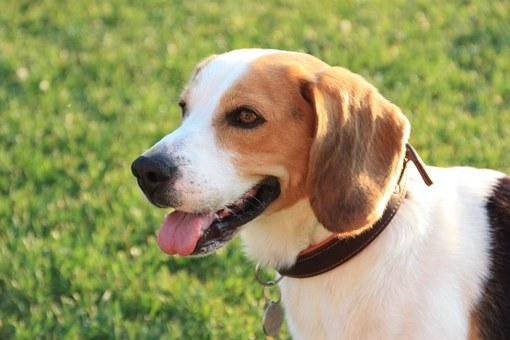 friendliest dog breeds beagle