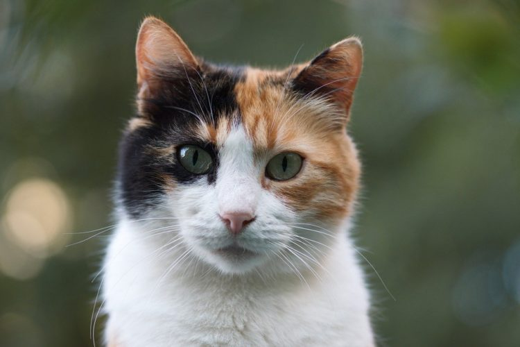 Lucy the calico manx cat