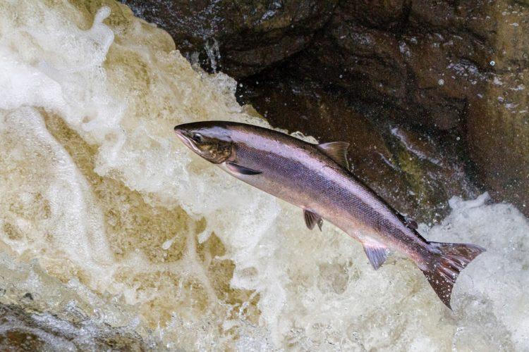 salmon-3704543_1920